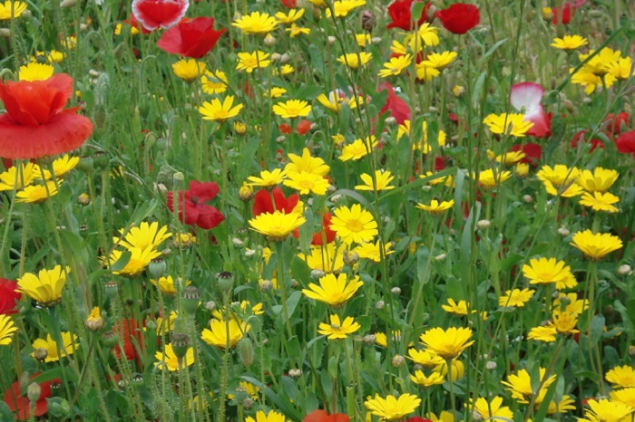 Corn Marigolds and Poppies