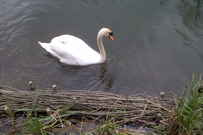 Swan with Willow spiling